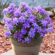Rhododendron Purple Pillow