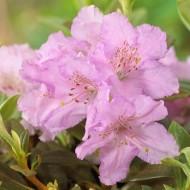 Rhododendron Lavendula