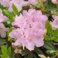 Rhododendron Robert Seleger