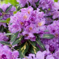 Rhododendron Goldflimmer - Rhododendron Hybrid