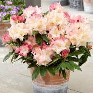 Rhododendron Percy Wiseman  - LARGE