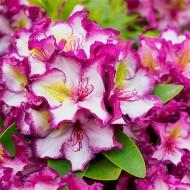 Rhododendron Happydendron Pushy Purple