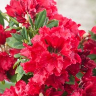 Rhododendron Red Jack - Large Evergreen Shrub