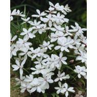 Rhodohypoxis Twinkle Stars - WHITE - Star Grass