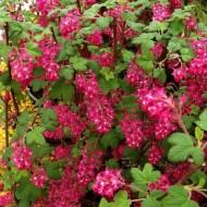 Ribes sanguineum King Edward VII - Flowering Currant Shrub