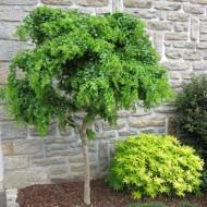 Robinia pseudoacacia umbraculifera - Twisty Baby - False Acacia - Lace Lady Standard Tree
