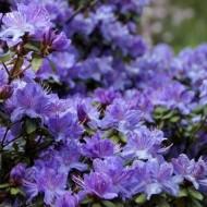 Rhododendron impeditum Arctic Blue
