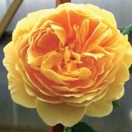 Large 6-7ft Specimen Climbing Rose - Goldener Olymp - Courtyard Climber