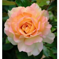 Rose Augusta Louise