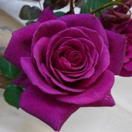 Rose Blackberry Nip - Deep Plum Purple Blue Rose