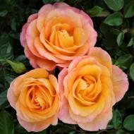 Rose Britannia