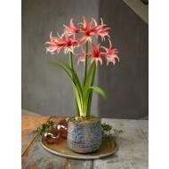 Amaryllis - Rose Cybister - Hippeastrum Bulb