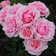 Rose Evy - Floribunda Shrub Rose