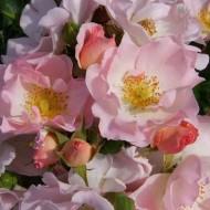 Rose Fidessa