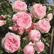 Large 6-7ft Specimen Climbing Rose - Rose Giardina - Courtyard Climber