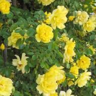 Large 6-7ft Specimen Climbing Rose - Rose Goldilocks - Courtyard Climber