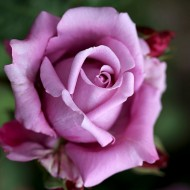 Large 6-7ft Specimen - Climbing Rose Indigoletta - Violet flowers