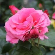 Large 6-7ft Specimen Climbing Rose - Lawinia