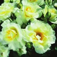 Rose Lemon Romantica