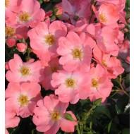 Rose - Pink Blanket - Shrub Rose