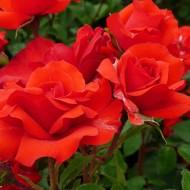 Large 6-7ft Specimen Climbing Rose - Porthos