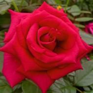 Large 5-6ft Specimen Climbing Rose - Red Flame
