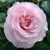 Rose Lace - Bush Rose