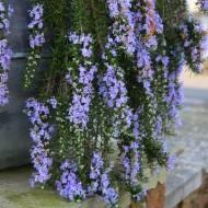 Trailing Rosemary - Rosmarinus officinalis Prostratus 'Capri' - Pack of THREE