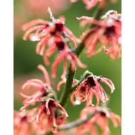 Hamamelis x intermedia 'Rubin' - Red Witch hazel