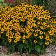 Rudbeckia Little Goldstar - Pack of THREE Plants in Bud