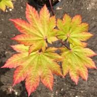 Acer japonicum Vitifolium - Vine leaved Japanese Maple - LARGE