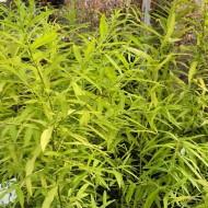 Salix udensis Golden Sunshine - Gold Leaf Willow