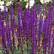 Salvia nemerosa Caradonna - Deep Blue Hardy Salvia