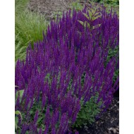 Salvia nemorosa Blue Queen - Ostfriesland - Pack of THREE Perennial Plants