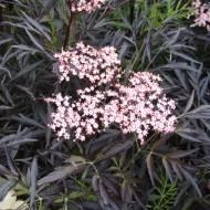 Sambucus nigra Black Lace - Black Elder Sambuca Plant