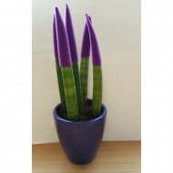 Sansevieria Velvet Touchz Royal Purple
