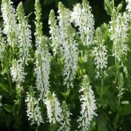 Salvia x sylvestris 'Schneehugel' - Salvia nemorosa Snow Hill