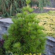 Sciadopitys verticillata - Umbrella Pine
