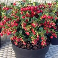 "Vaccinium ""Fire Balls"" Cranberry Plants - Grow your own Cranberries"