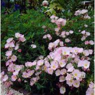 Oenothera speciosa 'Siskiyou' - Pink Evening Primrose