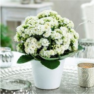 Snowy White Kalanchoe Flaming Katy Plant in Bud & Bursting in to Bloom in White Pot