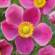 Anemone hupehensis Splendens - Windflower