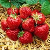 Strawberry Elsanta - Pack of TEN