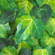 Large 6-7ft Specimen Climber - Hedera Sulphur Heart - Evergreen Ivy