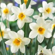 Daffodil - Narcissus Sweet Love