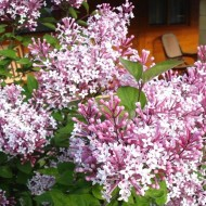 Dwarf Hungarian Lilac - Syringa josikaea Shrub - Large Specimen - 120-140cms
