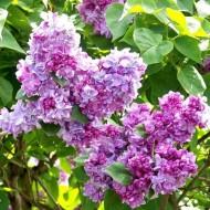 Fragrant Standard Lilac Tree - Syringa vulgaris Katherine Havemeyer - Large 120-140cm Standard Tree