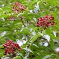 Tetradium daniellii - Bee Bee Tree - Korean Evodia