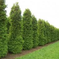 Thuja occidentalis Brabant - 60-80cms Specimen or Hedging Conifer