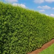 Thuja occidentalis Brabant - 135-160cms Specimen or Hedging Conifer